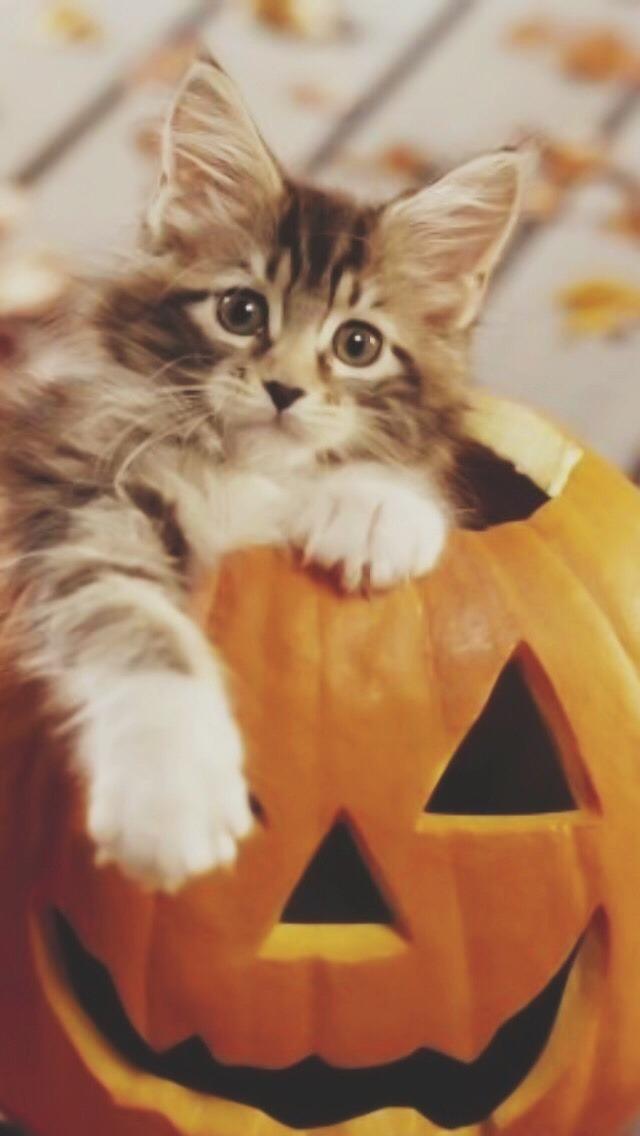 Fall Leaves And Pumpkins Wallpaper Kitty Cat Lights Orange Coffee Halloween City Fall