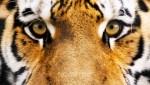 Siberian Tiger Eyes