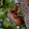 cicada-100x100
