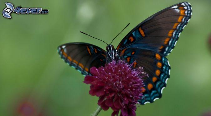 Peacock Hd Wallpaper For Pc Papillon Sur Fleur