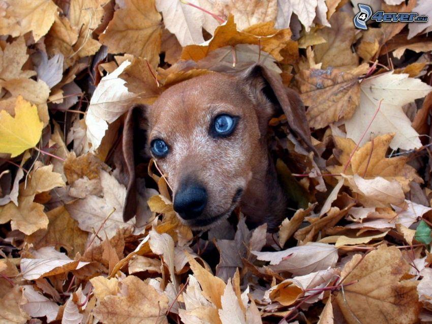 Fall Wallpaper Dog Weenie Jamnik