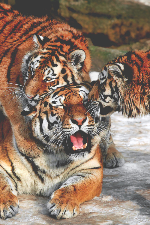 Fall Baby Animal Wallpaper Tigers On Tumblr