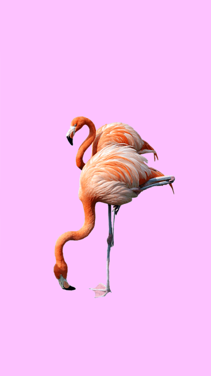 Cute Sanrio Wallpapers Pink Flamingo Wallpaper Tumblr