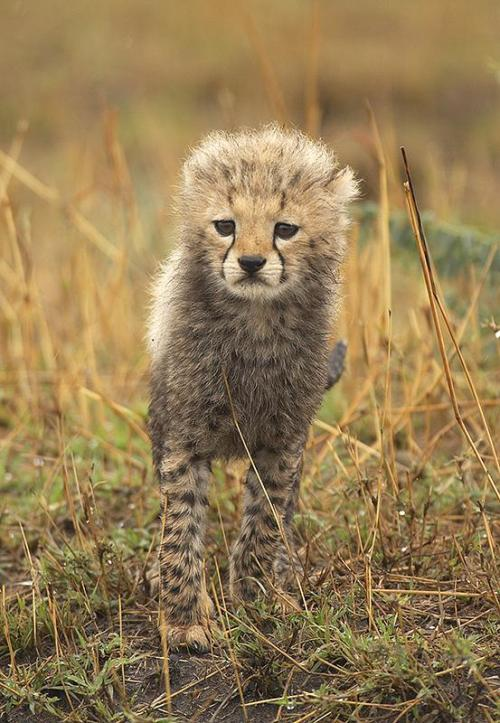 Cute Baby Cheetah Cubs Wallpaper Baby Cheetah On Tumblr