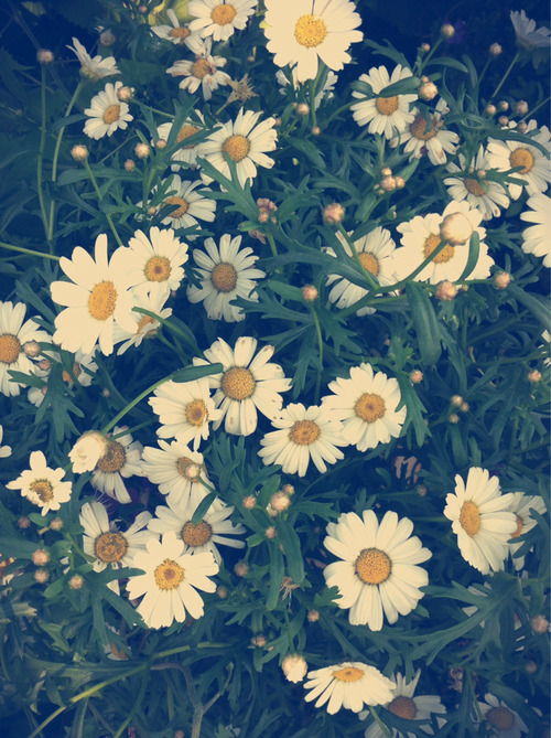 Hipster Wallpaper Iphone Daisy Flowers Background Tumblr