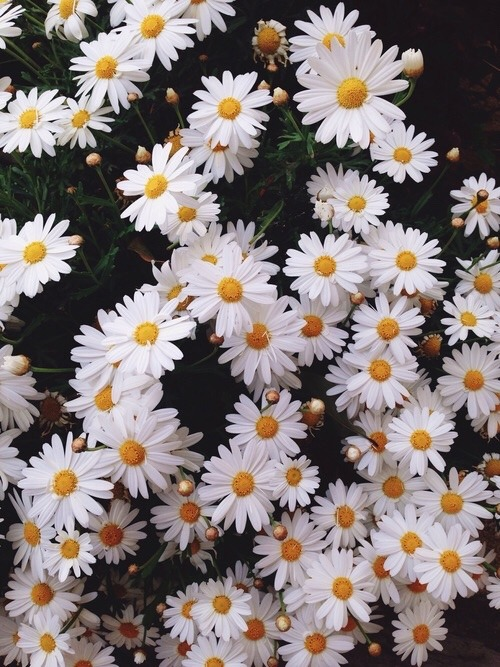 Cute Girly Laptop Wallpapers Daisy Flowers Background Tumblr