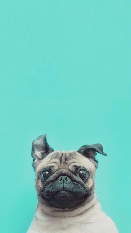 Pug Iphone Wallpaper Pugs Wallpaper Tumblr