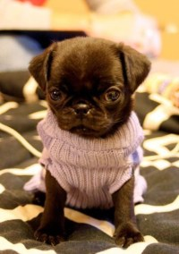 Pugs In Clothes | www.imgkid.com - The Image Kid Has It!