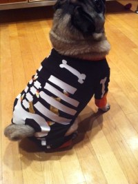 pugs in clothes on Tumblr