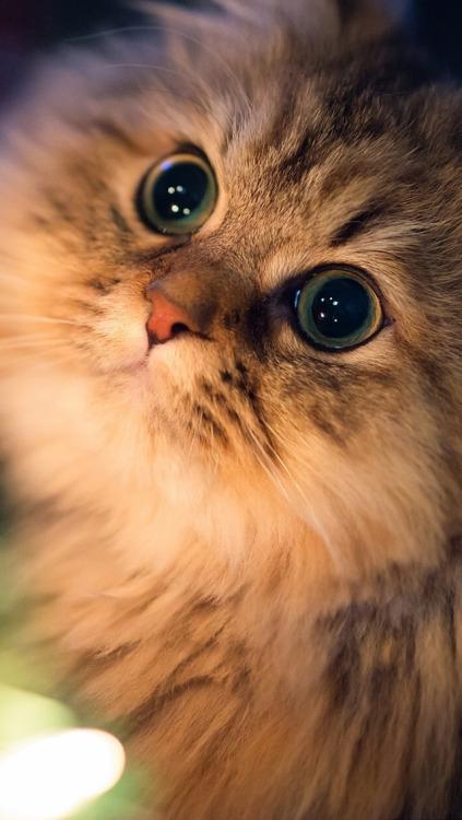 Cute Cat Iphone 6 Wallpaper Meow Cat Wallpaper Tumblr