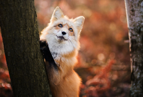 Fall Leaves Fox Wallpaper Fall Tumblr