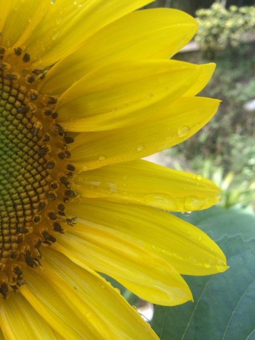 Sunflower Iphone Wallpaper Girasoles On Tumblr