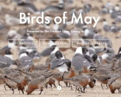 Coming soon, Birds of May.  Birds of May, filmed in May 2016 on the beaches of the Delaware Bay, is filmmaker Jared Flesher's ode to the natural spectacle of the red knot's annual visit. It's also an examination of potential new threats to red knot survival. Not everyone is sure that expanded oyster farming and red knots can happily coexist. Against the scenic backdrop of the bay, Flesher interviews both oyster farmers and the shorebird biologists who fear that an oyster farming boom here could push the rufa red knot closer to extinction.