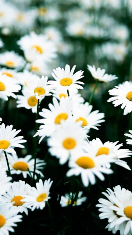 Iphone Wallpaper Trippy Daisy Flowers Wallpaper Tumblr
