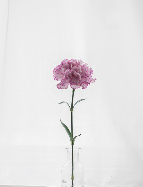 Black And Pink Floral Wallpaper Carnation On Tumblr