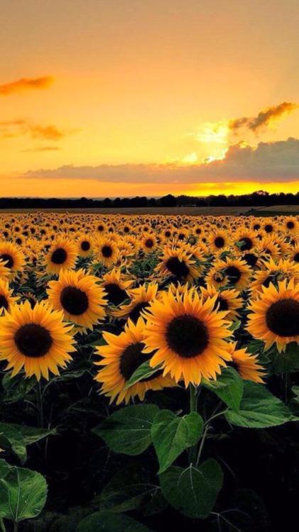 Indie Wallpaper Iphone 6 Sunflower Background Tumblr