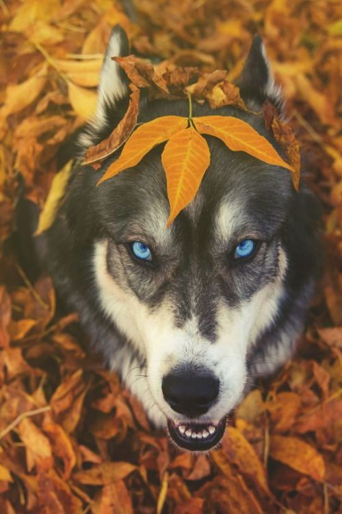 Cute Husky Puppies With Blue Eyes Wallpaper Husky Wallpaper Tumblr
