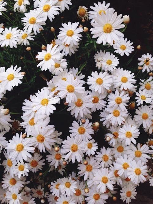 Cute Butterflies Hd Wallpapers Daisy Flowers Iphone Wallpaper Tumblr