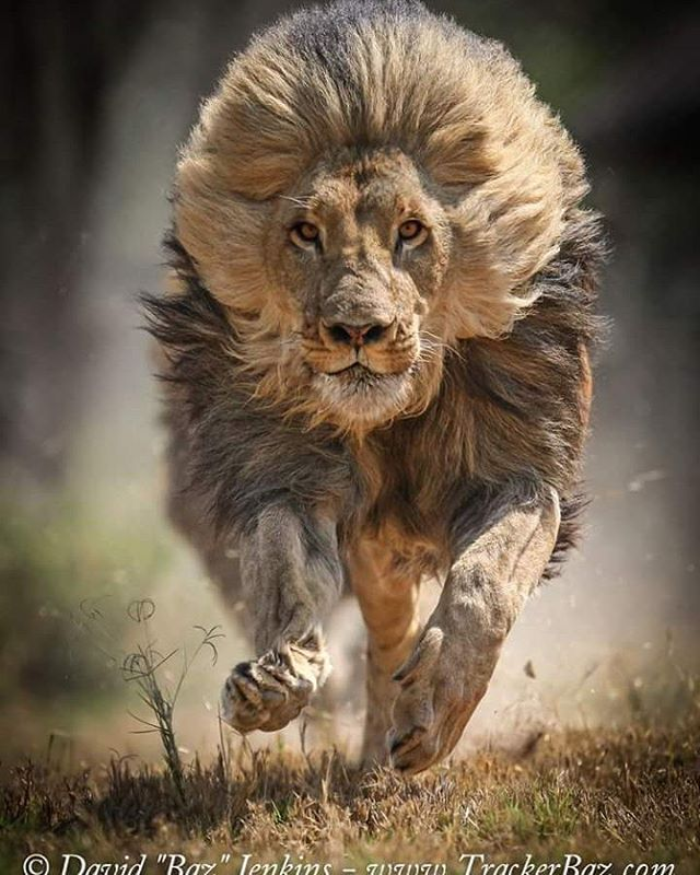 Lion Quotes Wallpaper Funny Wildlife