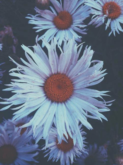 Peonies Wallpaper Iphone 6 Daisy Flowers Iphone Wallpaper Tumblr