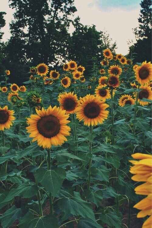 Sunflower Wallpaper With Quote Sunflower Aesthetic Tumblr