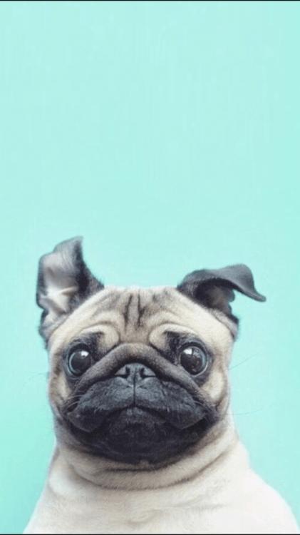 Cute Pattern Iphone 5 Wallpaper Pugs Wallpaper Tumblr