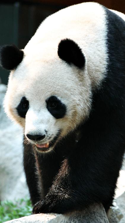Cute Cool Wallpapers For Iphone Panda Wallpaper Tumblr