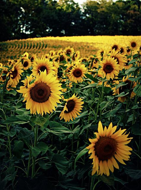 Girl Good Morning Wallpaper Sunflower Field On Tumblr