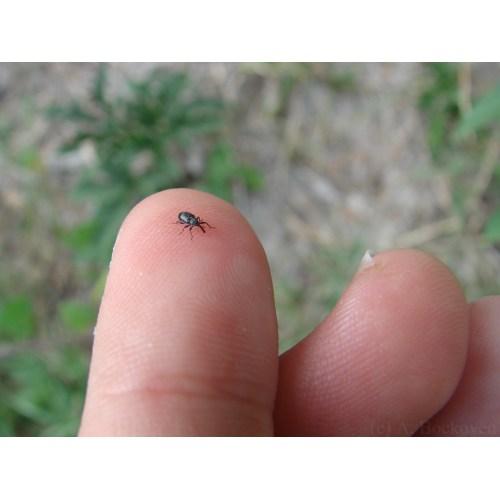 Medium Crop Of Small Black Beetle
