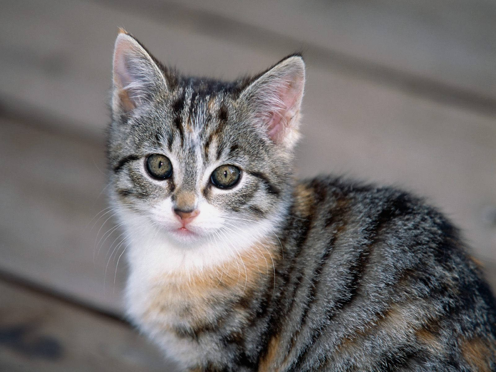 Cute Kitten Wallpaper For Ipad Cute Animals Image Gray And White Kitten Turning Back