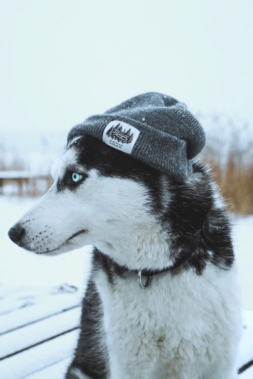 Cute Dog Iphone Wallpaper Huskies On Tumblr