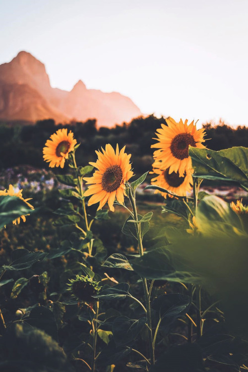Fall Sunflowers Wallpaper Live Your Life