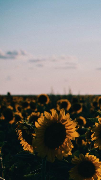 Pug Iphone Wallpaper Sunflower Wallpaper Tumblr
