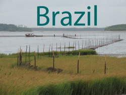 I've had the opportunity to join two field expeditions to the wilderness coast of northern Brazil. Read more about it in these blog posts:Postcard from MaranhaoBeetle gets a 1,630 mile range extensionThe willet's winter worldMaranhao
