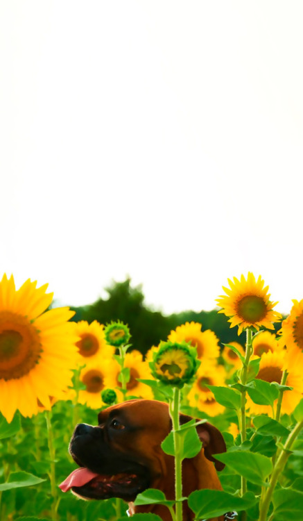 Sunflower Wallpaper With Quote Sunflower Wallpaper Tumblr