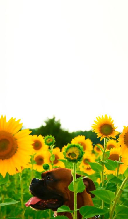 Sunflower Iphone Wallpaper Sunflower Wallpaper Tumblr