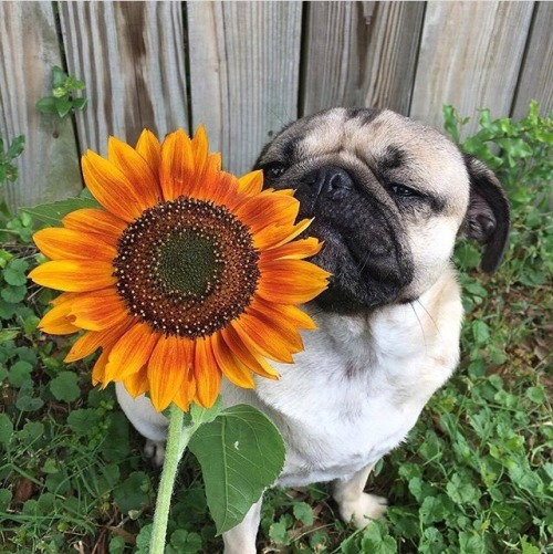 Cute Dog Pictures For Wallpaper Cachorro Pug Tumblr