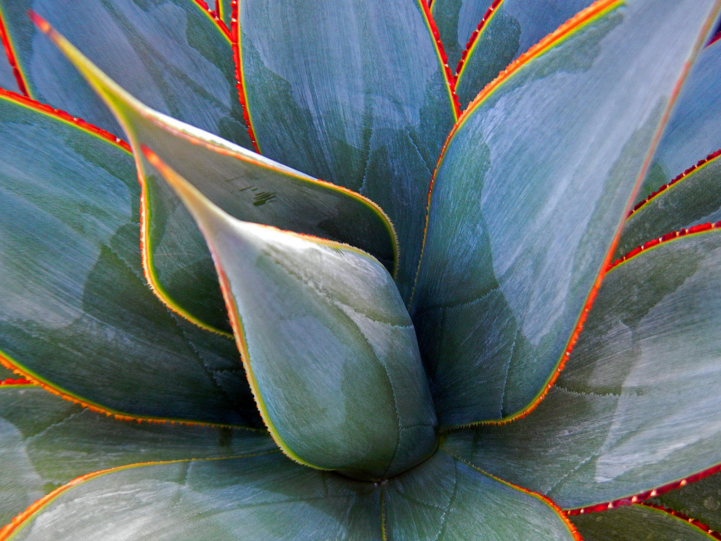 Fullsize Of Agave Blue Glow