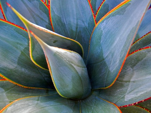 Medium Of Agave Blue Glow