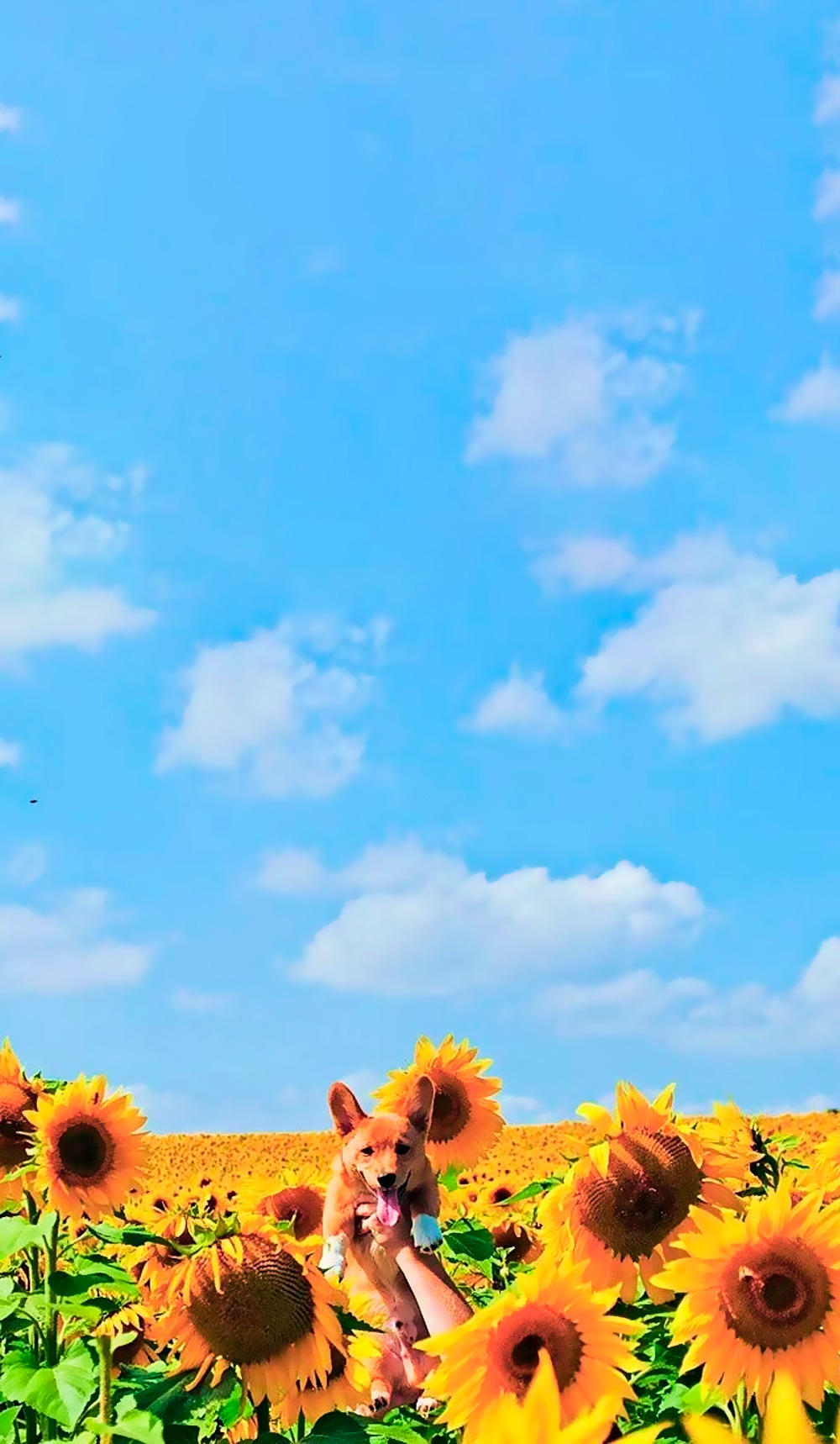 Sunflower Wallpaper With Quote Random