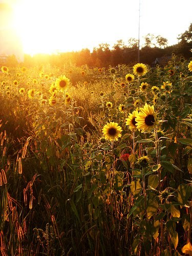 Fall Landscape Wallpaper Desktop Sunflower Field On Tumblr
