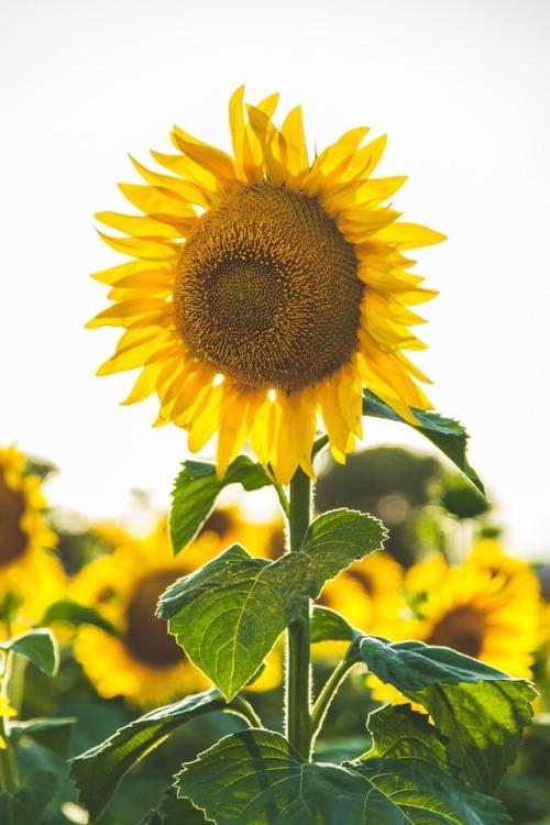 Background Wallpaper Hd Fall Fog Sunflowers On Tumblr