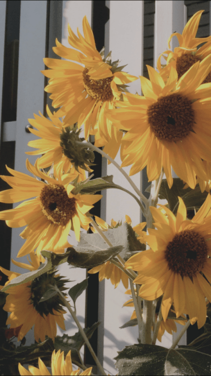 Hipster Wallpaper Iphone Sunflower Wallpaper Tumblr