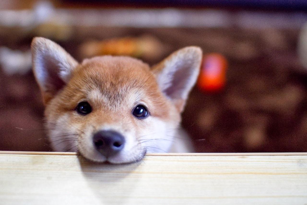 Charmful Sale Baby Shiba Inu Gif Dog Puppy Peeking Shiba Inu Shibe Dogs Puppies Puppies Babyanimals Fuzzy Fluffy No Filler Baby Shiba Inu Puppies bark post Baby Shiba Inu