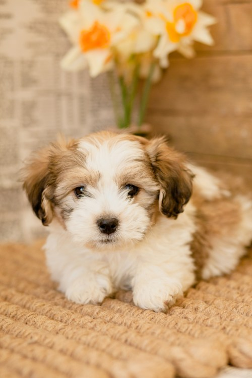 Medium Of Bulldog Shih Tzu Mix