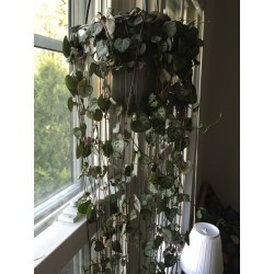 Small Crop Of String Of Hearts Plant