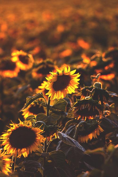 Fall Sunshine Wallpaper Hipster Sunflower Tumblr