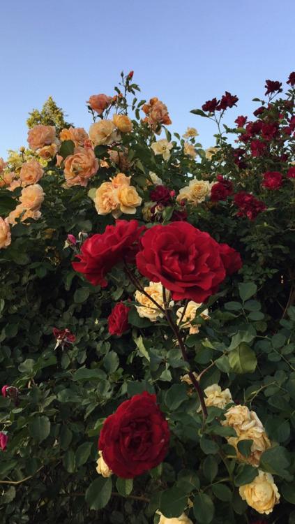 Rupi Kaur Quotes Wallpaper Roses Lockscreens Tumblr