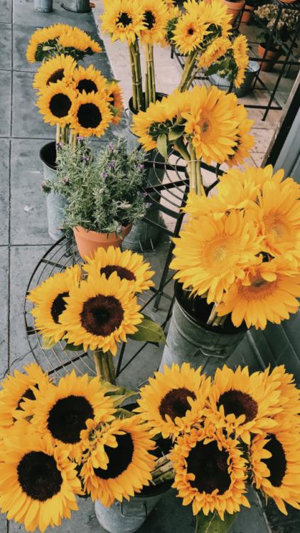 Iphone 6 Orange Flower Wallpaper Sunflower Wallpaper Tumblr
