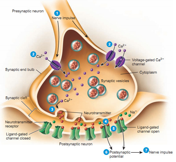 Synaptic Transmission at the Neuromuscular - Nervous System